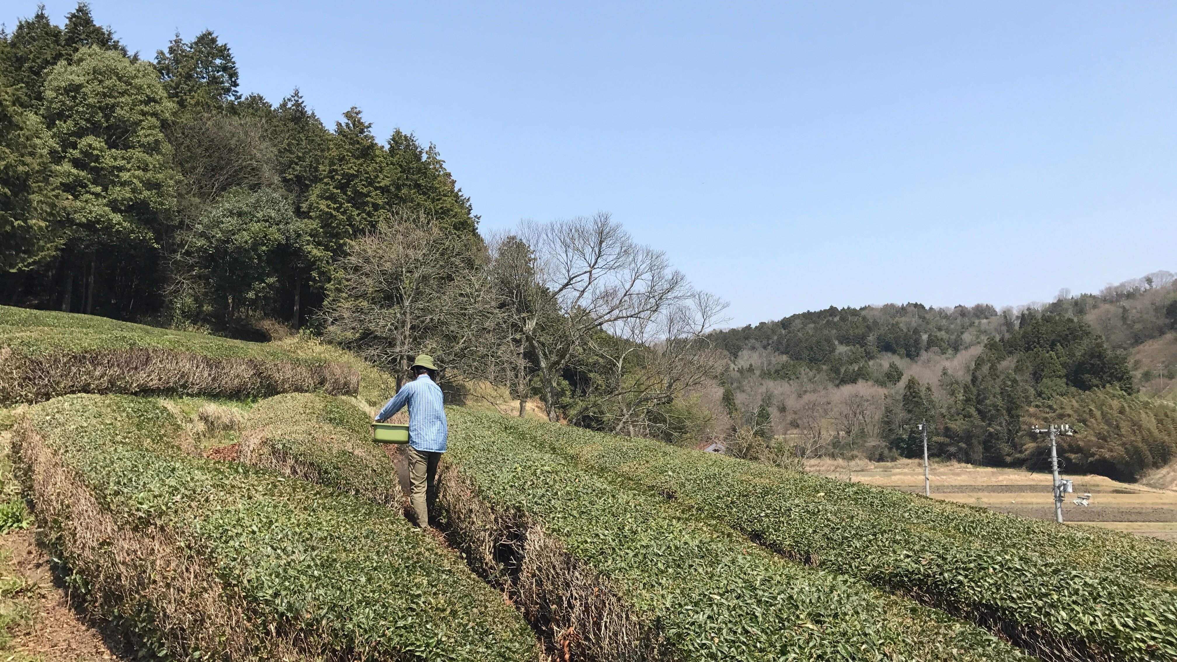 Brewing a Future for Local Tea
